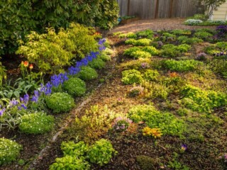 Ground cover plants for lawn alternatives