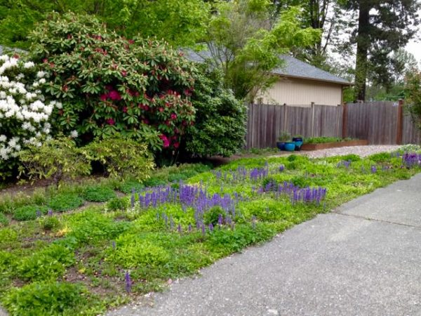 no mow ground cover yard