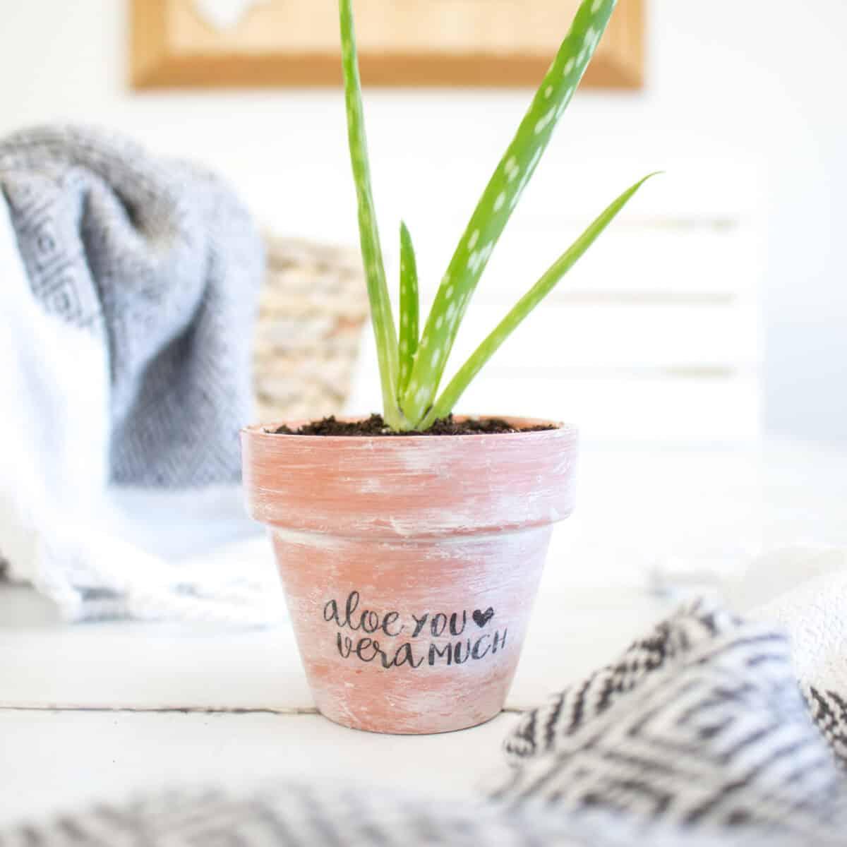 aloe plant in terra cotta pot